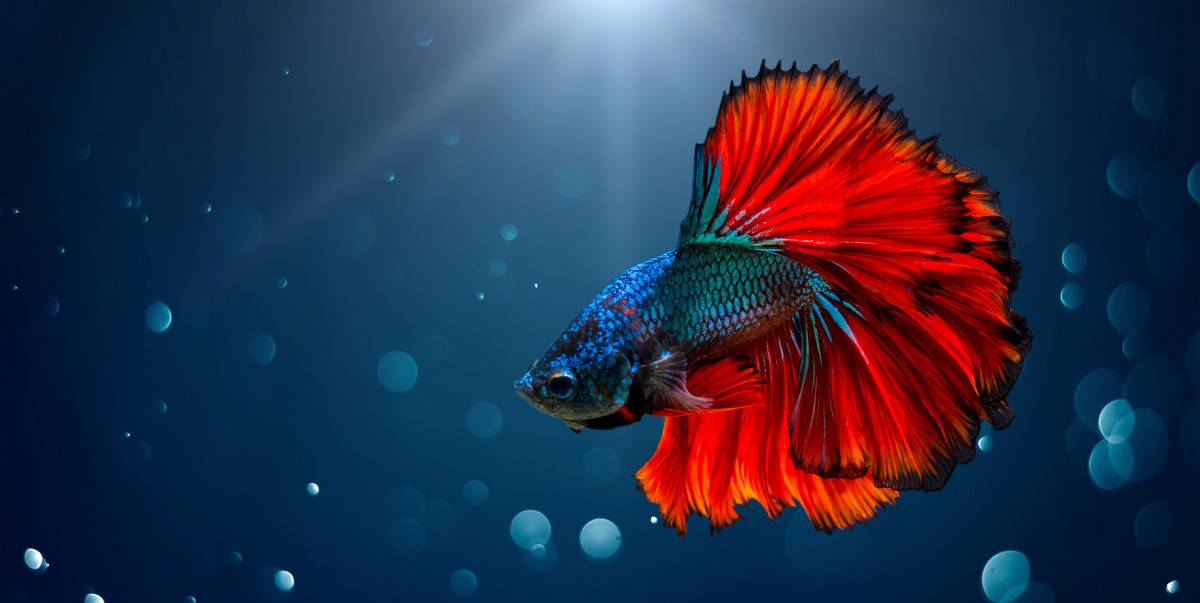 Do Betta Fish Make Good Pets? 7 Pros and Cons – Family Pet Planet