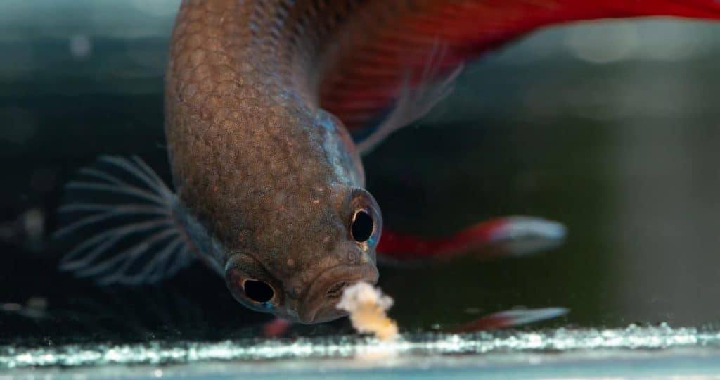 Do Bettas Know When To Stop Eating Diet Tips Overfeeding Family Pet Planet