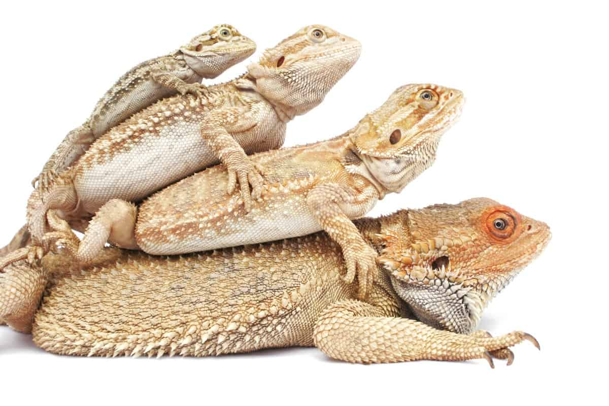 How Big And How Fast Do Bearded Dragons Grow Family Pet Planet