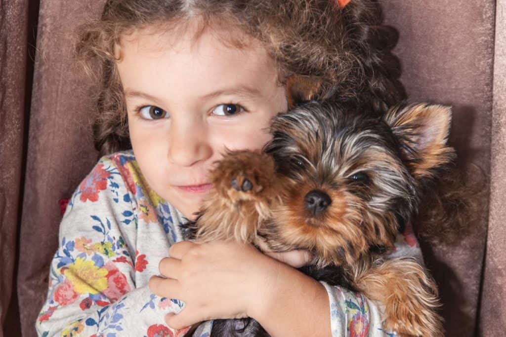 Do Yorkies Like To Cuddle And Be Held Family Pet Planet